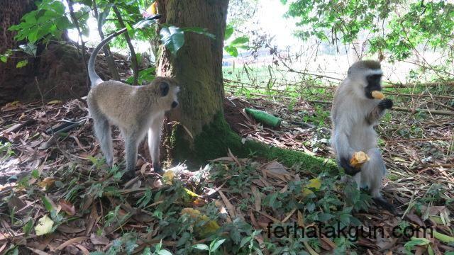 Affen in Huye