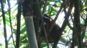 ranomafana-lemur-1