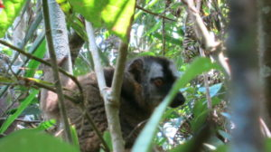 ranomafana-lemur-2