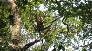 ranomafana-lemur-3