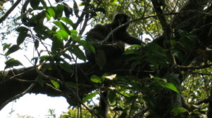 ranomafana-lemur-4
