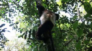 ranomafana-lemur-6