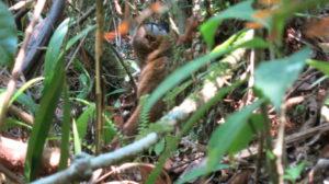 ranomafana-lemur-baby