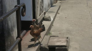 Toamasina - Chicks