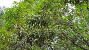 Mangos wachsen hier wie Unkraut