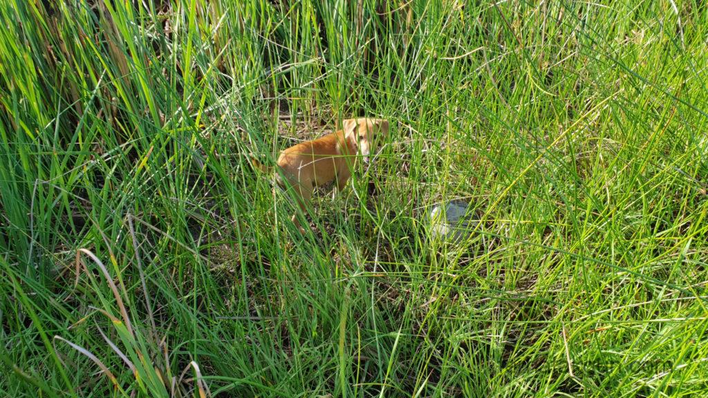 Coronie Totness Friendship - Hund im Gras