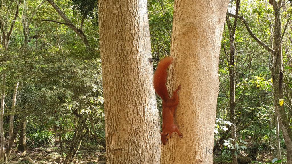 El Gallineral - Eichhörnchen