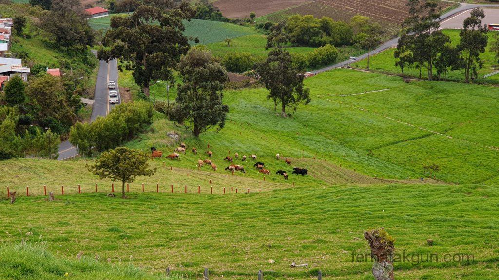 Cartago - Landschaft mit Kühen
