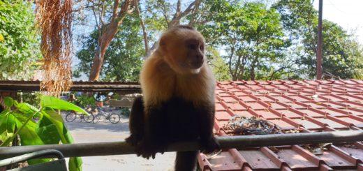 Nicaragua - Ometepe - La Chiponga - Kapuzineraffe
