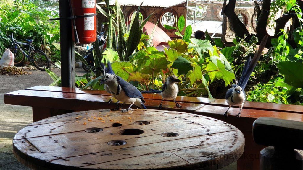 Nicaragua - Ometepe - La Chiponga Urraca