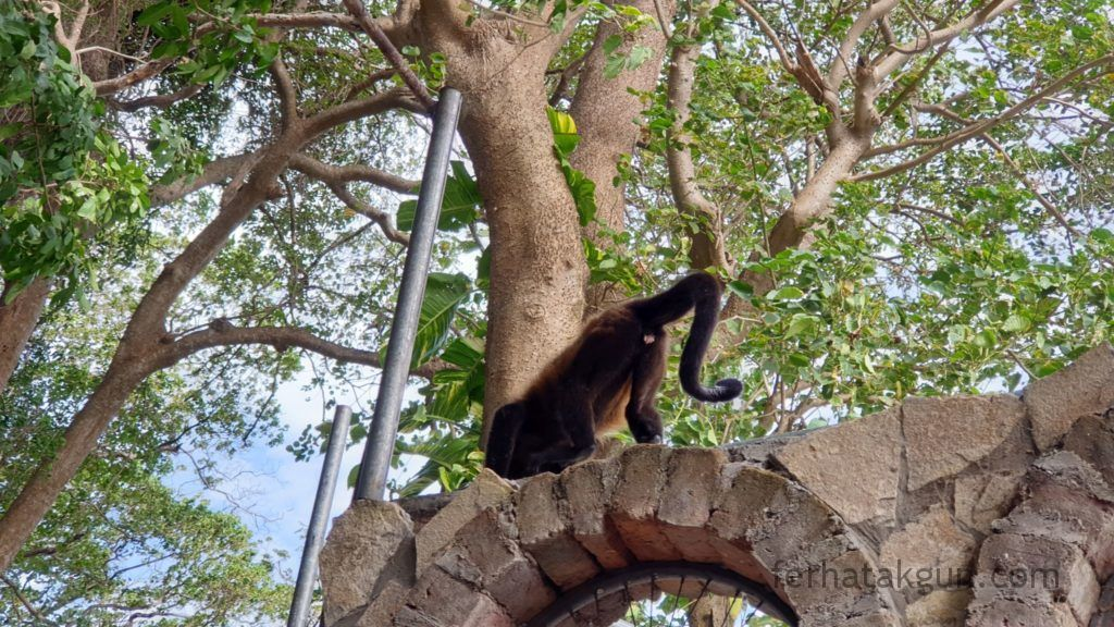 Nicaragua - Ometepe - La Chiponga Brüllaffe